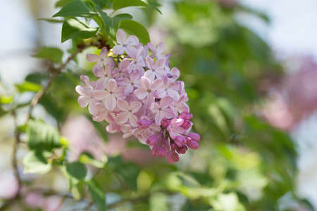 lilac buds and flowers on green tree photo
