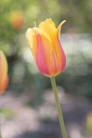pastel yellow and pink single tulip Stock Photo - 19736807
