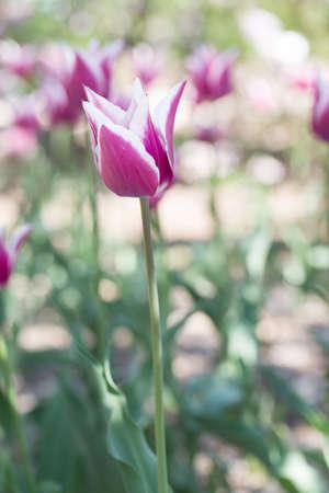 pink tulips Stock Photo - 19736470