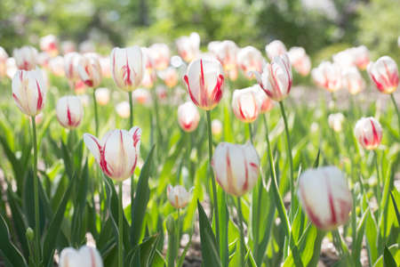 red and white tulip field horizontal photo