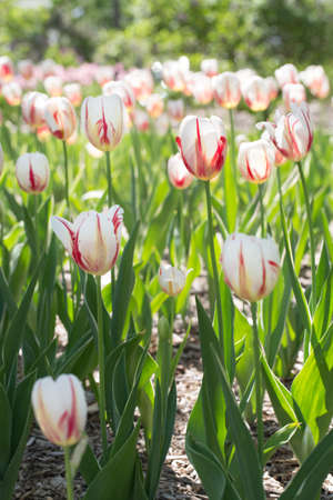 red and white tulips vertical photo