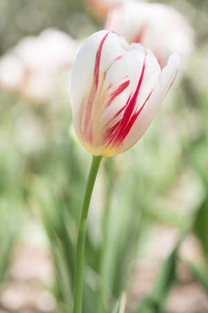 single pastel red and white tulip photo