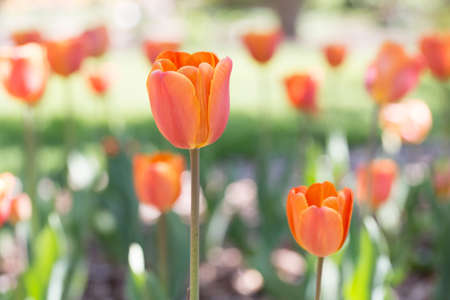 Beautiful orange tulips photo