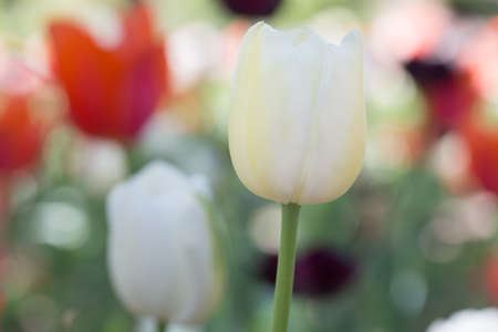 Tulips of many colors photo