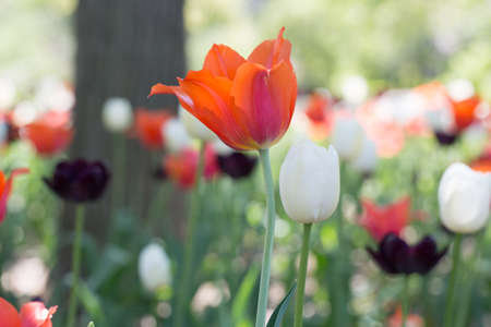 Multi colored tulips in a field with tree Stock Photo - 19736469