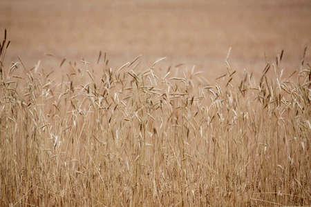 Close up of wheat in Colorado photo