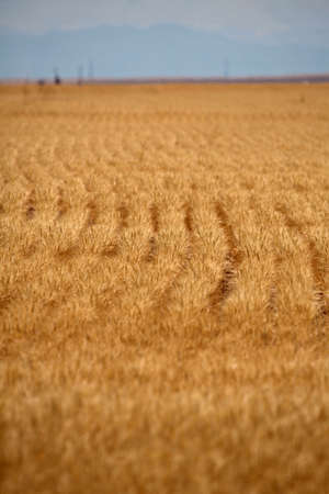 Rows of Wheat in Colorado photo