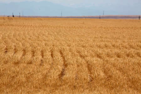 a wheat field waiting to be harvested in Colorado photo