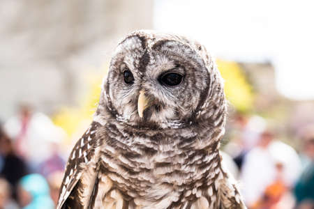 captivity: A Barred Owl in captivity