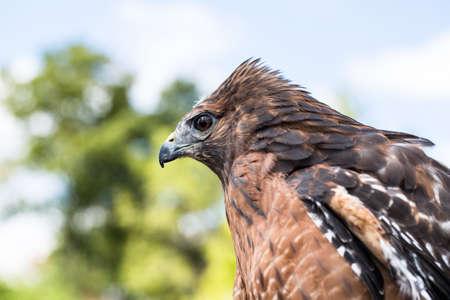 shouldered: Red Shouldered Hawk