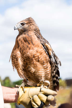 shouldered: Red Shouldered Hawk in captivity Stock Photo