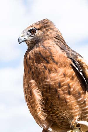 shouldered: Red Shouldered Hawk in profile