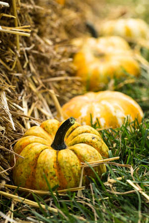 Small Fall Halloween pumpkin gourds at the Fall Festival photo