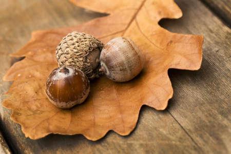 Oak leaf and acorns in autumn photo