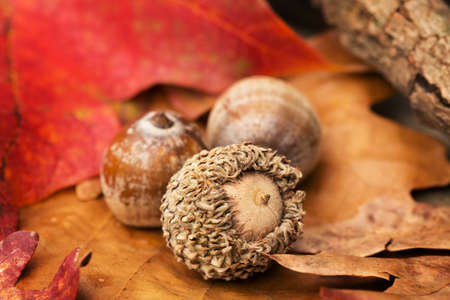 Acorns and Fall leaves in Autumn photo