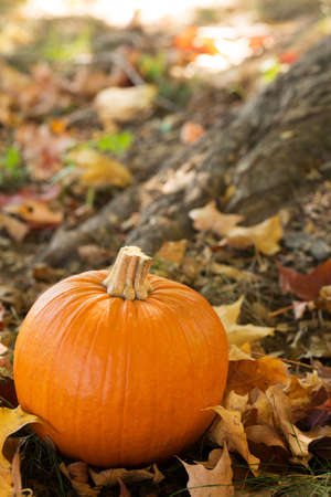 Fall Halloween pumpkin in colorful leaves photo