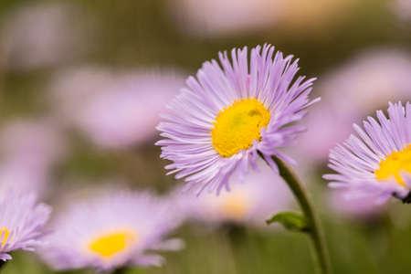 colorado rocky mountains: Fleabane wildflowers in Colorado Rocky Mountains