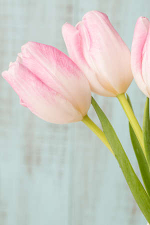 Three pink and white pastel tulips