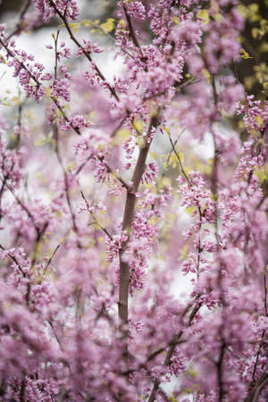 redbud tree: Redbud tree blooming in spring in Illinois