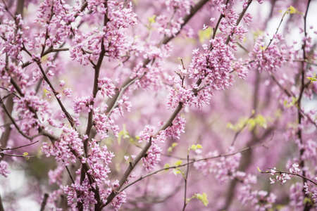 redbud: Redbud tree blooming in spring in Illinois