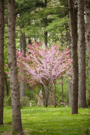 redbud: Flowering Dogwood and Redbud trees among a Pine forest in Illinois