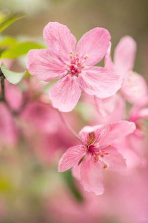 Beautiful Dogwood tree flowers blooming in spring in Illinois Imagens