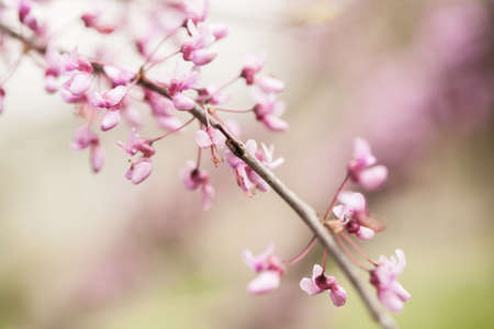 redbud tree: Redbud tree branch with pink blooms Stock Photo