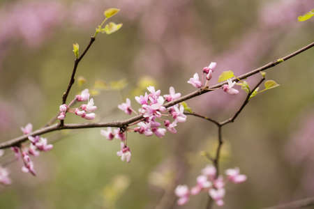 redbud tree: Pink blooming flowers on Redbud tree branch in Spring