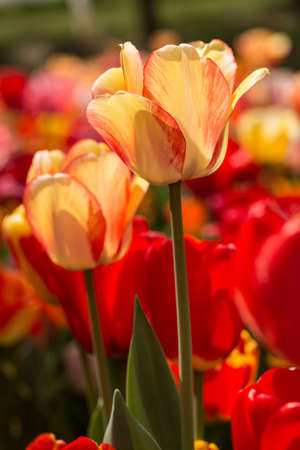 vertical image: Vertical image of yellow and red tulips