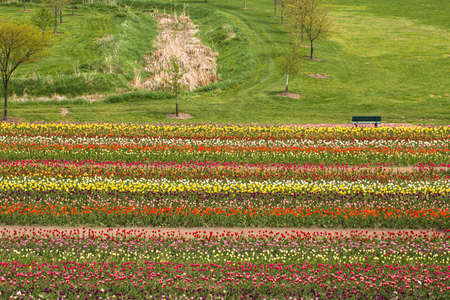 many colored: Many colored tulips in a field in Holland Stock Photo