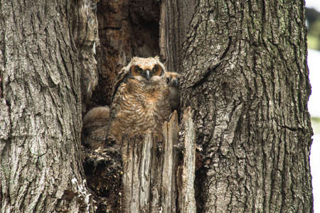 a young baby: A young baby Great Horned Owl sitting in a tree Stock Photo