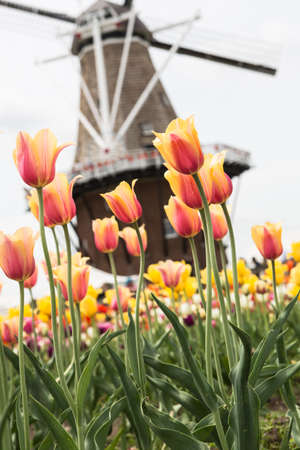 A field of tulips with a windmill in the background in Holland