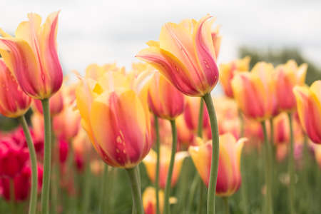 blushing: A field of Blushing Beauty pastel yellow and pink tulips