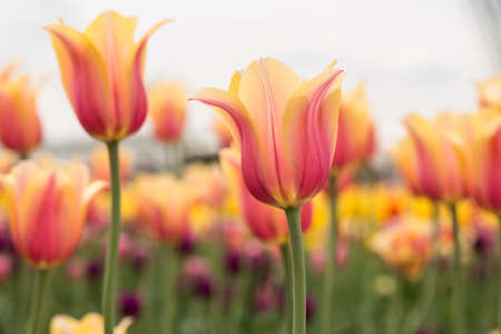 blushing: Pink and yellow pastel Blushing Beauty tulip field in Holland Michigan