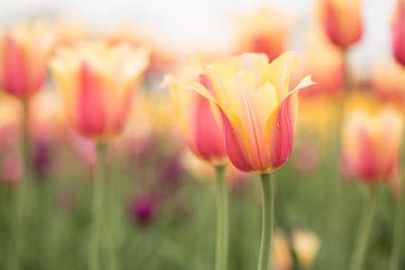 blushing: Soft pastel pink and yellow Blushing Beauty tulips