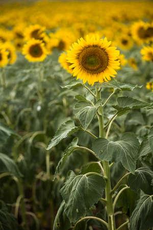 girasol: Una granja de girasoles soleados en Dakota del Sur