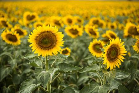 botanical farms: A Sunflower farm in summer in South Dakota
