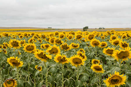 farmed: Sunflowers in a field being farmed in South Dakota Stock Photo