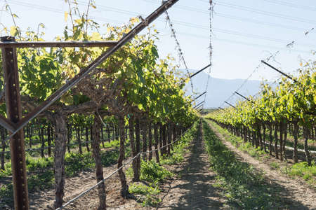 wine country: Rows of grapevines growing in southern California wine country Stock Photo