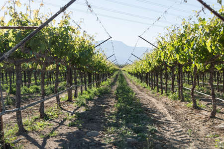 wine country: A row of immature grapevines growing in southern California wine country Stock Photo