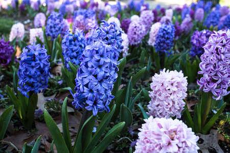 Lit de jardin de jacinthes bleues et roses poussant au printemps Banque d'images - 74187292