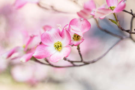 Dogwood Tree pink blooms in Sprintime in Great Smoky Mountains National Park Tennessee