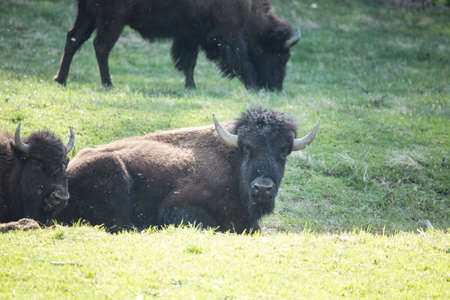 Buffalo bison lying down in green grass near Smoky Mountain National Park Tennessee
