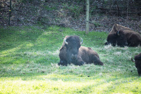 Buffalo bison lying down in green grass near Smoky Mountain National Park in Tennessee Stock Photo