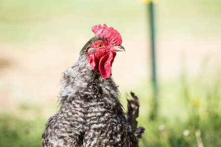 Profile of chicken rooster in grassy field