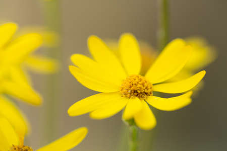 Close up of a Yellow Ragwort wild flower in the Smoky Mountains National Park Tennessee Stock Photo