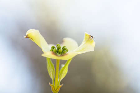 Close up macro of a Dogwood Tree bloom in Spring in Smoky Mountains National Park Tennessee