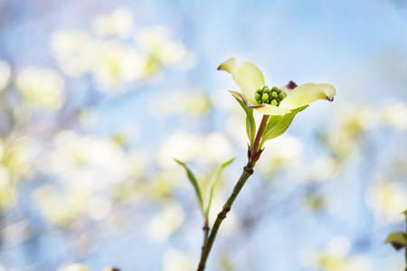 Dogwood Blooms in Spring in the Smoky Mountains of East Tennessee Stock Photo