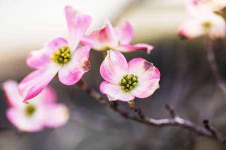 Pink Dogwood Tree bloom in Great Smoky Mountains National Park in Springtime