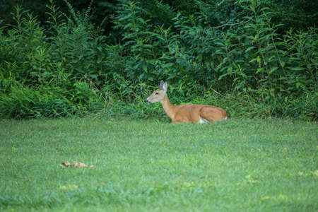 A deer rests in the grass next to the forest in summertime